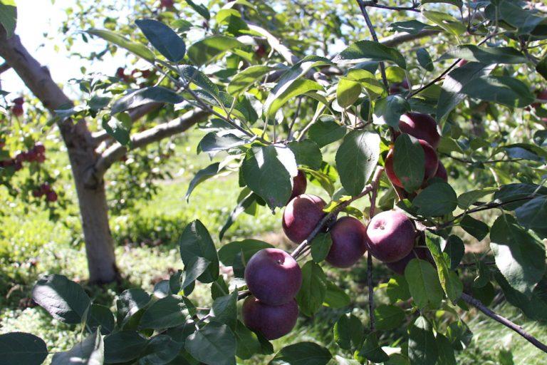 Pommes du Québec