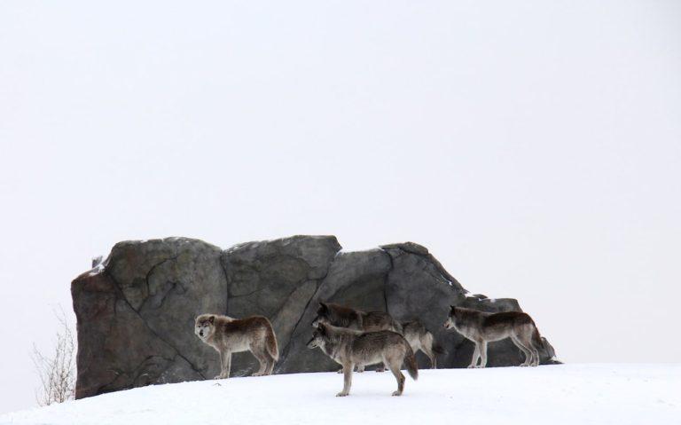 Zoo Assiniboine