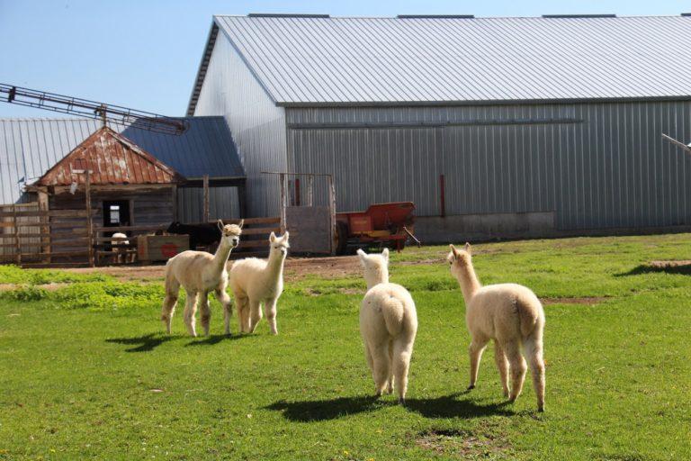 Alpagas à la ferme en Montérégie