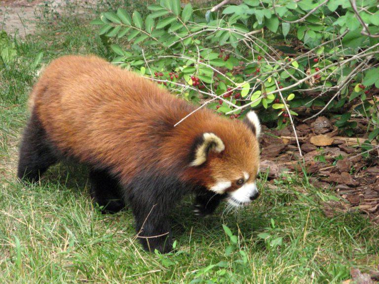 Red panda au Toronto Zoo