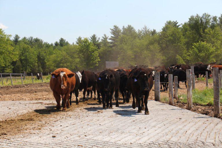 Vaches de Boucherie Bon Boeuf