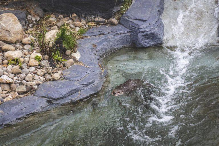 Loutre de rivière